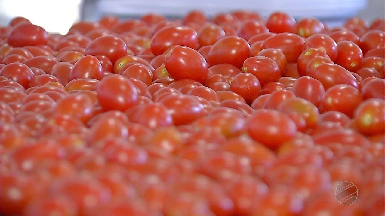 Produtores empreendem com o cultivo de milho doce e tomate-cereja