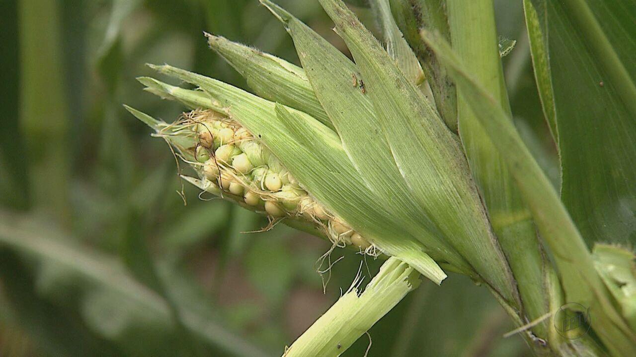 Praga causa prejuízos nas lavouras de milho de Corumbataí e São Carlos, SP