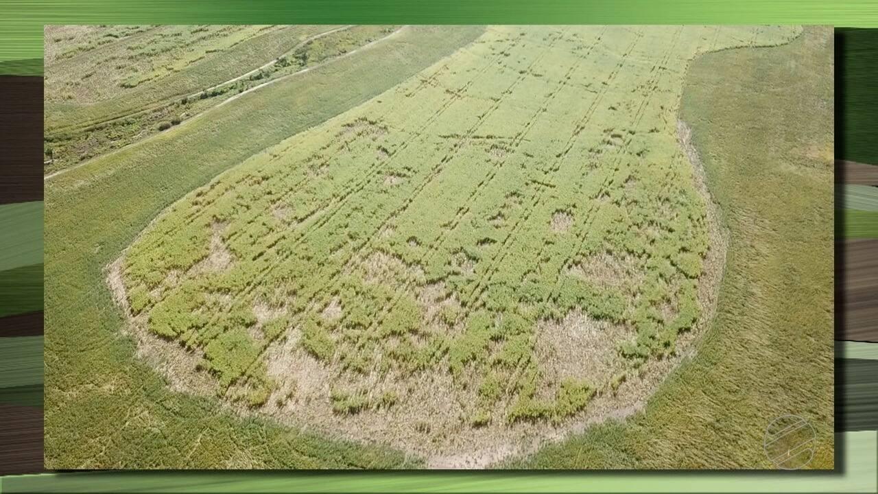 Porcos selvagens provocam prejuízos em lavouras de milho