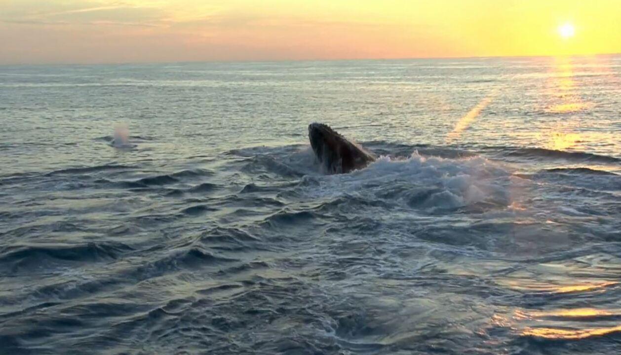 O canto e o salto das baleias são estratégias de cortejo