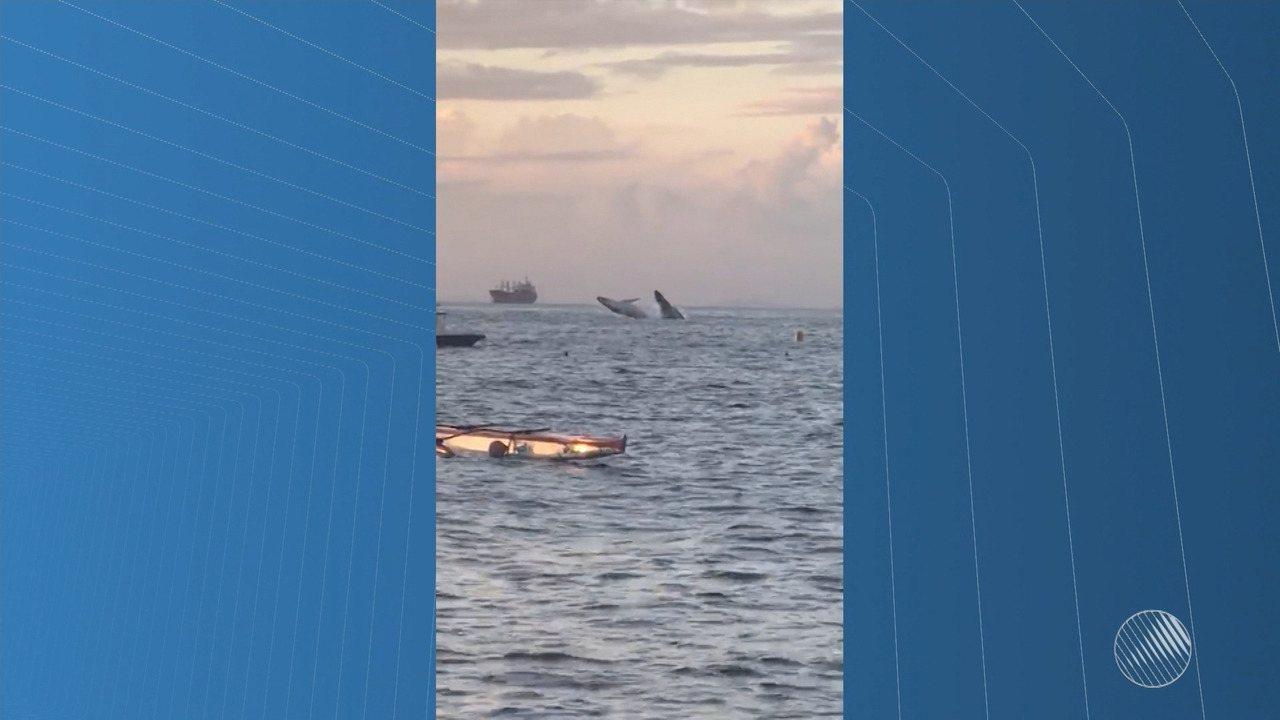 Duas baleias são flagradas dando saltos em mar da Baía de Todos-os-Santos
