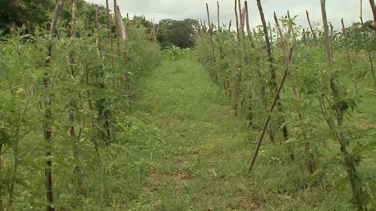 Cultivo de orgânicos é destaque no Mirante Rural