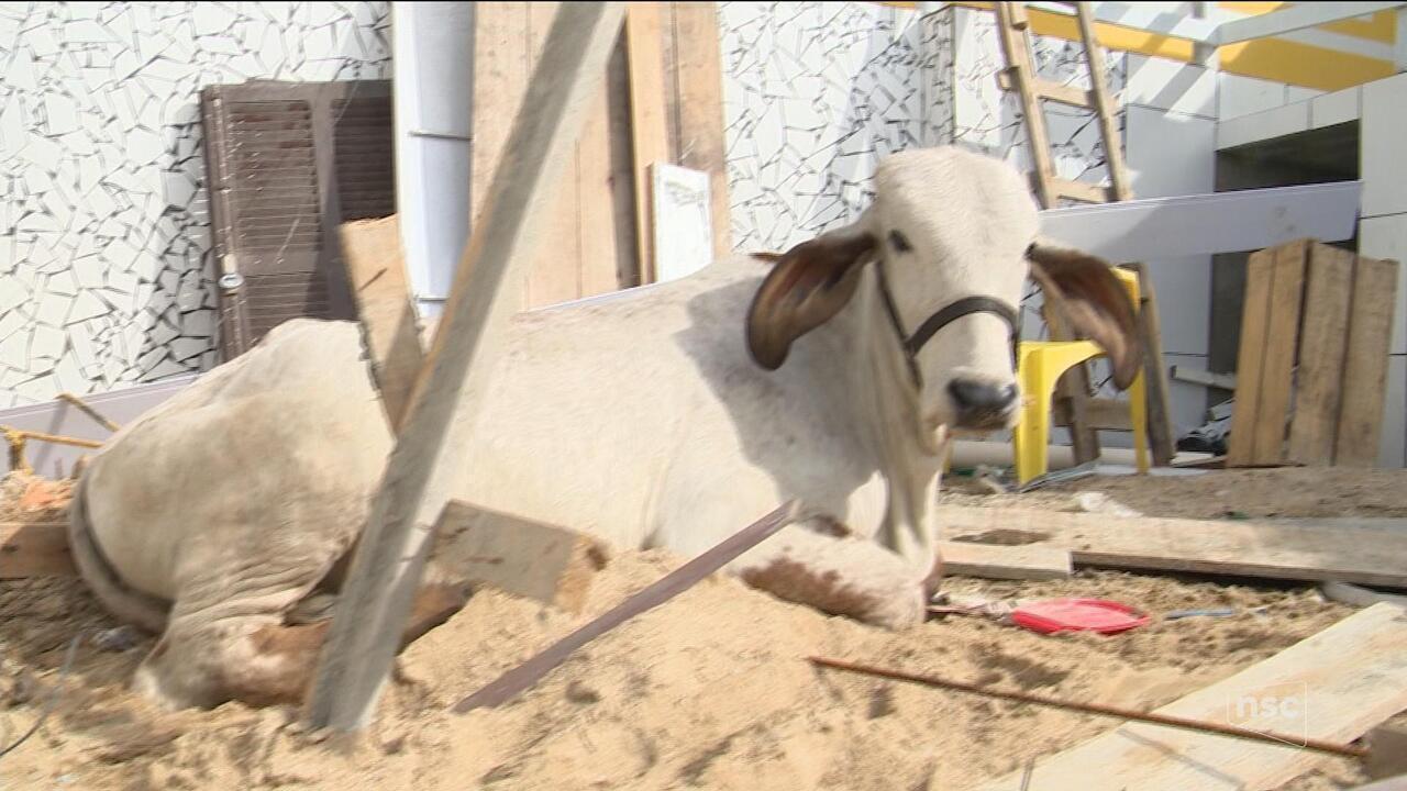 Vaca cai de telhado em residência em São José