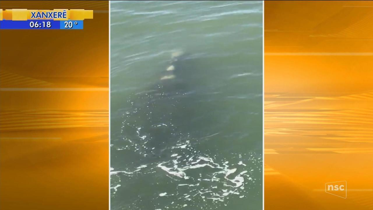 Primeiro monitoramento aéreo do ano registra 35 baleias em SC