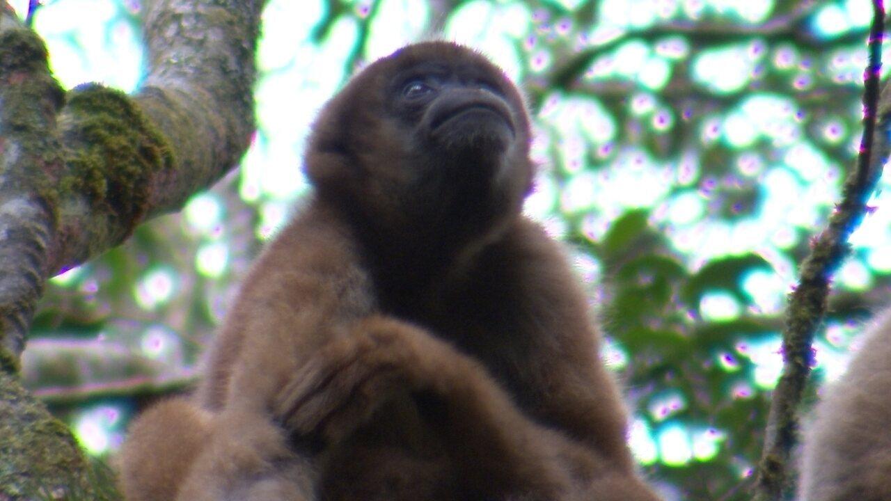 Maior macaco das Américas corre risco de extinção