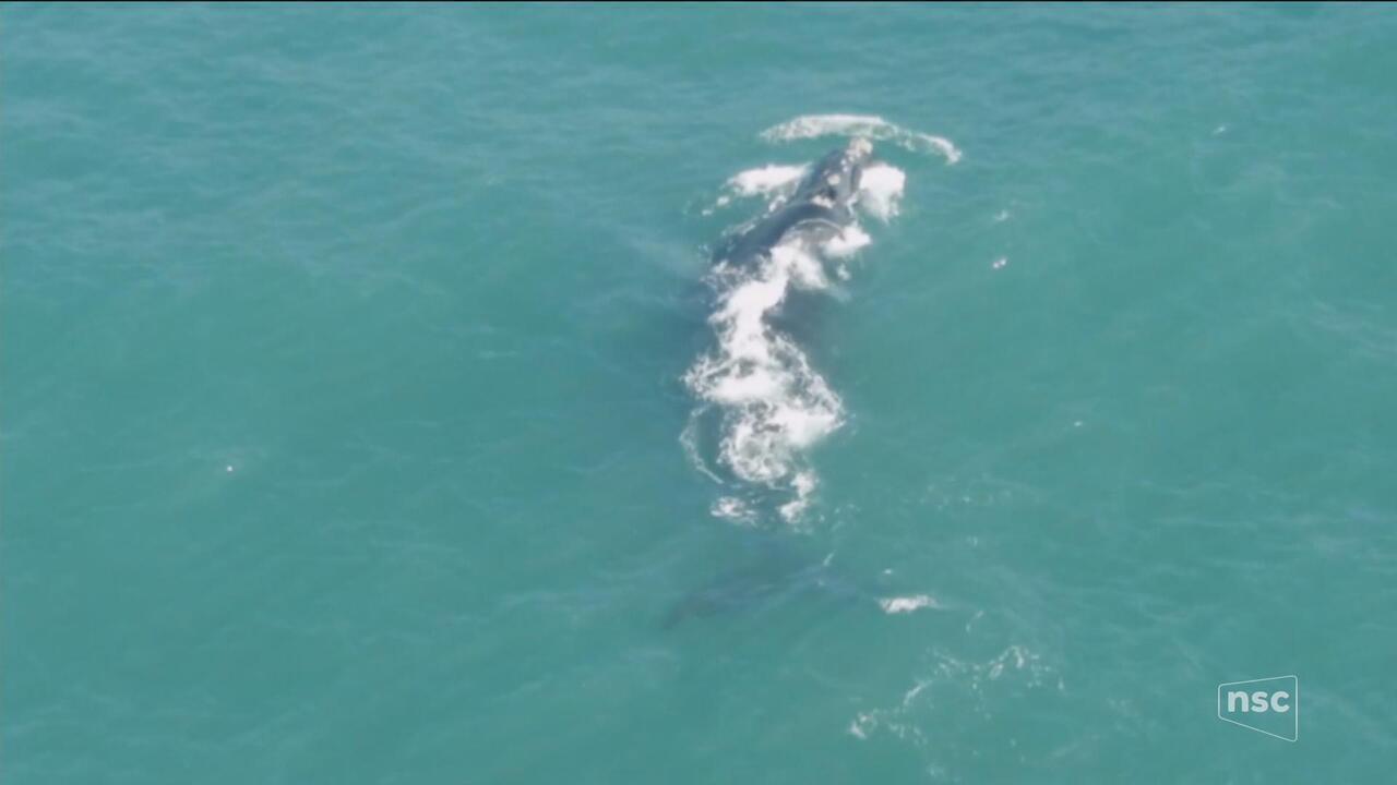 Projeto monitora baleias-francas há 31 anos
