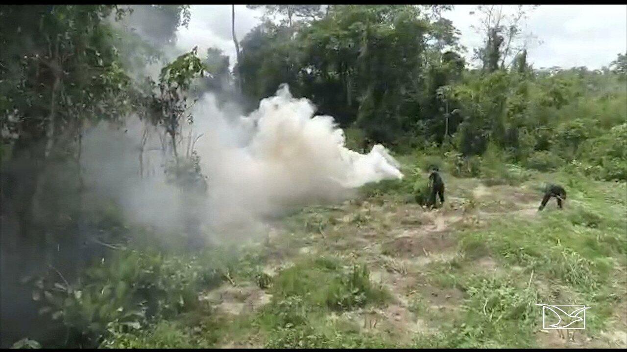 Operação da polícia descobre plantação de maconha no Maranhão