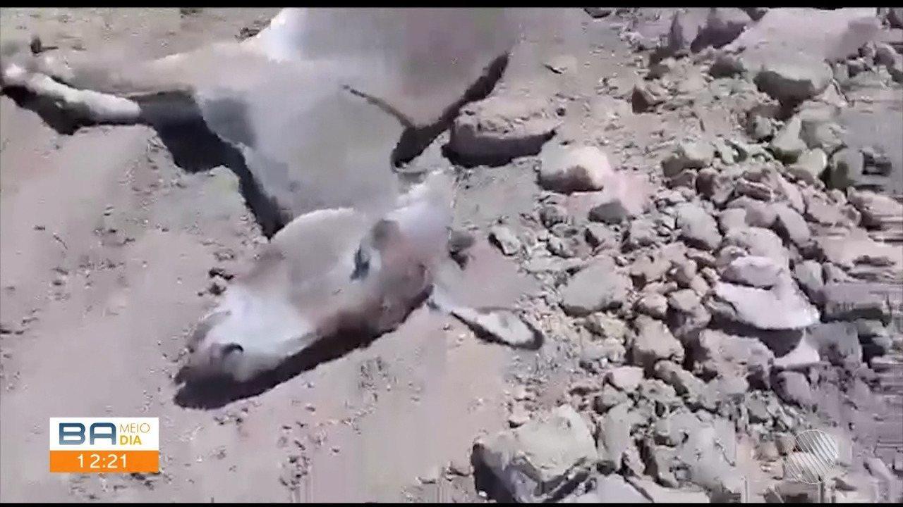 ONG denuncia abate irregular e maus-tratos de jumentos de jumentos em Itapetinga