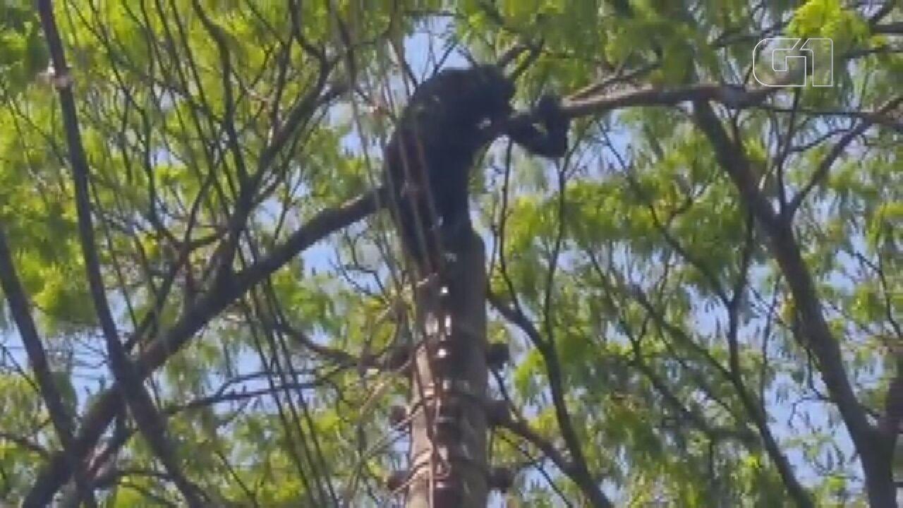 Macaco leva choque ao andar sobre fios elétricos em bairro de Araraquara, SP