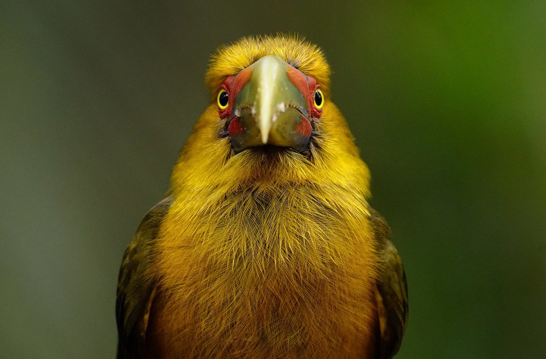 Observação de aves: Tapiraí