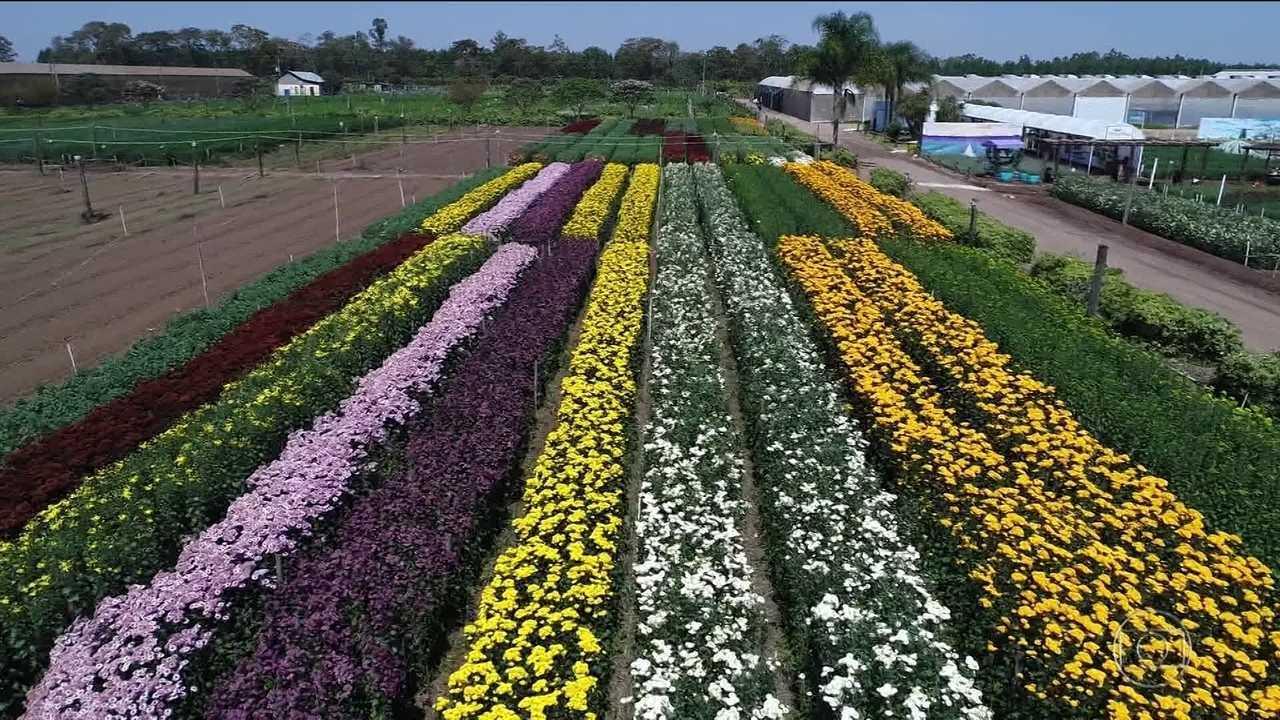 Produtores De Holambra Sp Investem Em Tecnologia Para Ter Flores O Ano Inteiro