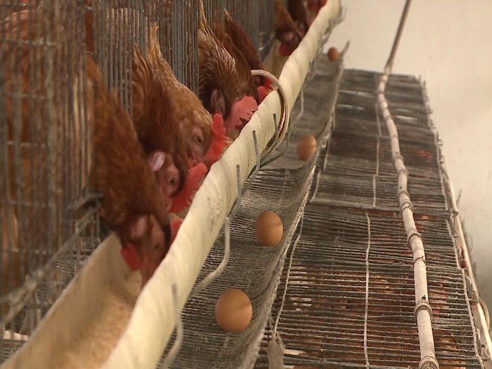 Mirante Rural destaca a produção de galinhas poedeiras no Maranhão
