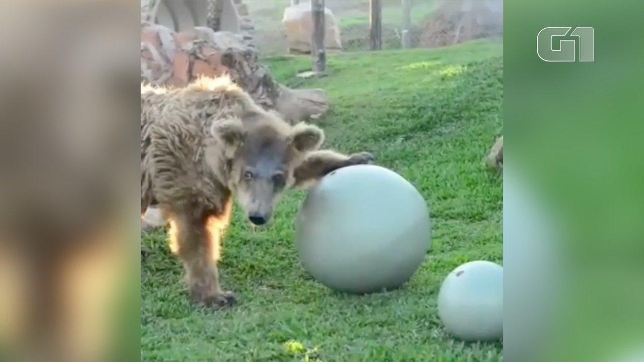 Ursa que veio do Piauí recebe cuidados em santuário em Joanópolis