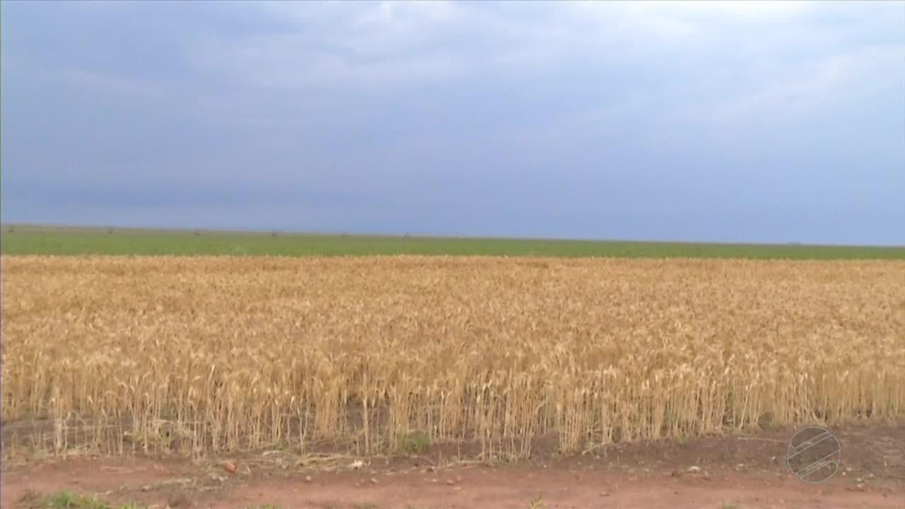 Pesquisa comprova a viabilidade do trigo em Mato Grosso