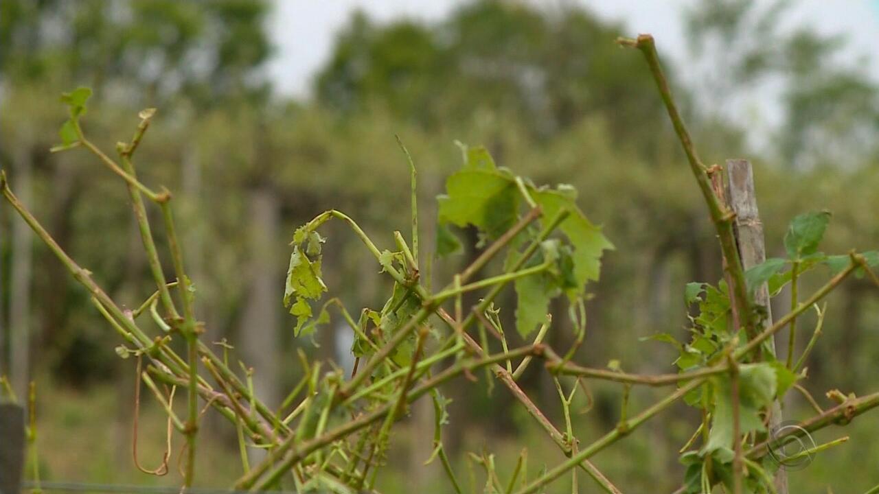 Temporal causa estragos em plantações do Rio Grande do Sul