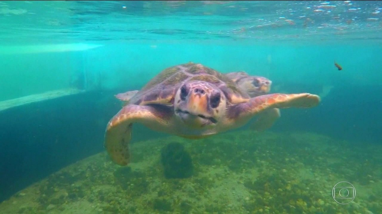 No ES, após a lama da barragem de Fundão, projeto protege tartarugas