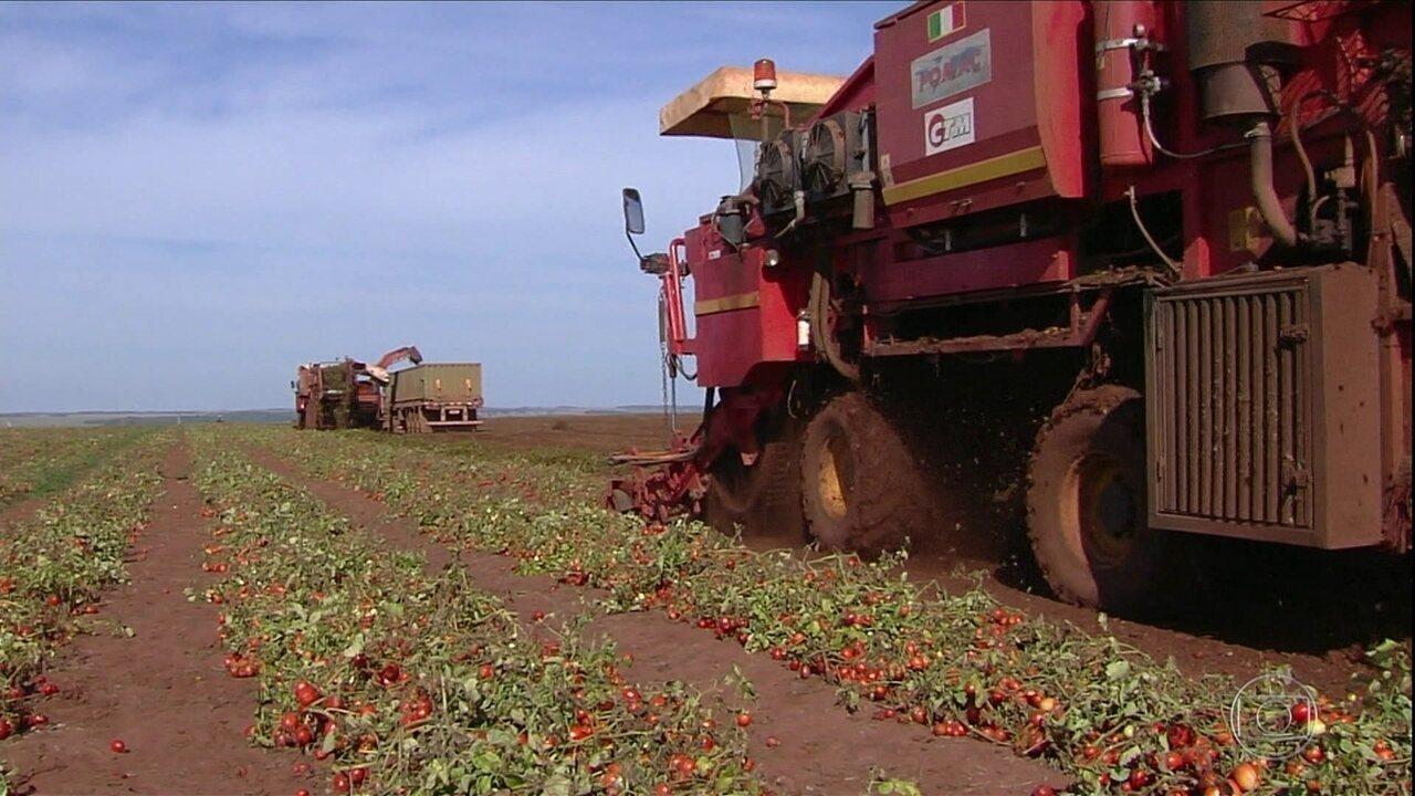 Cresce produção do tomate industrial em Goiás