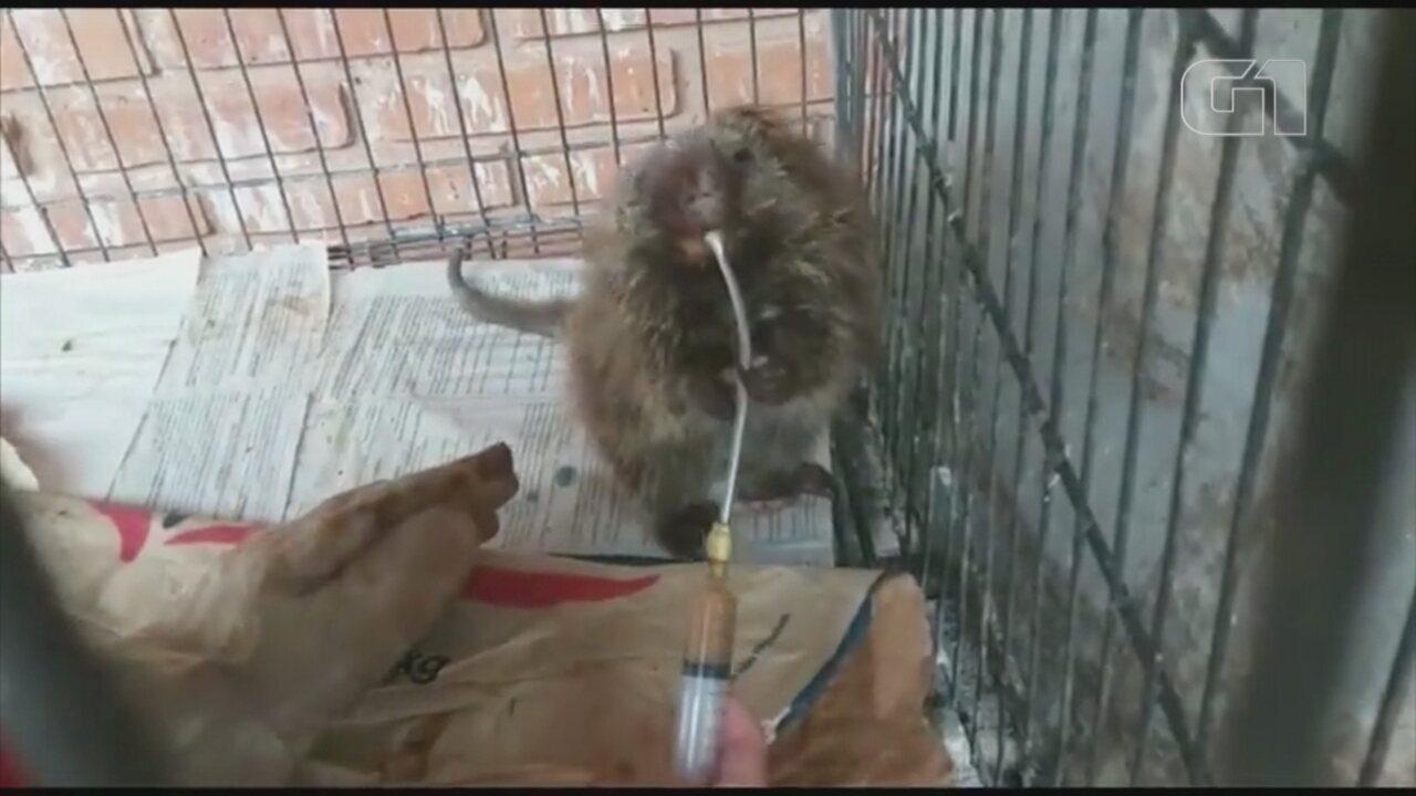 Ouriço é atropelado em rodovia e passa por cirurgia no Zoo de Bauru