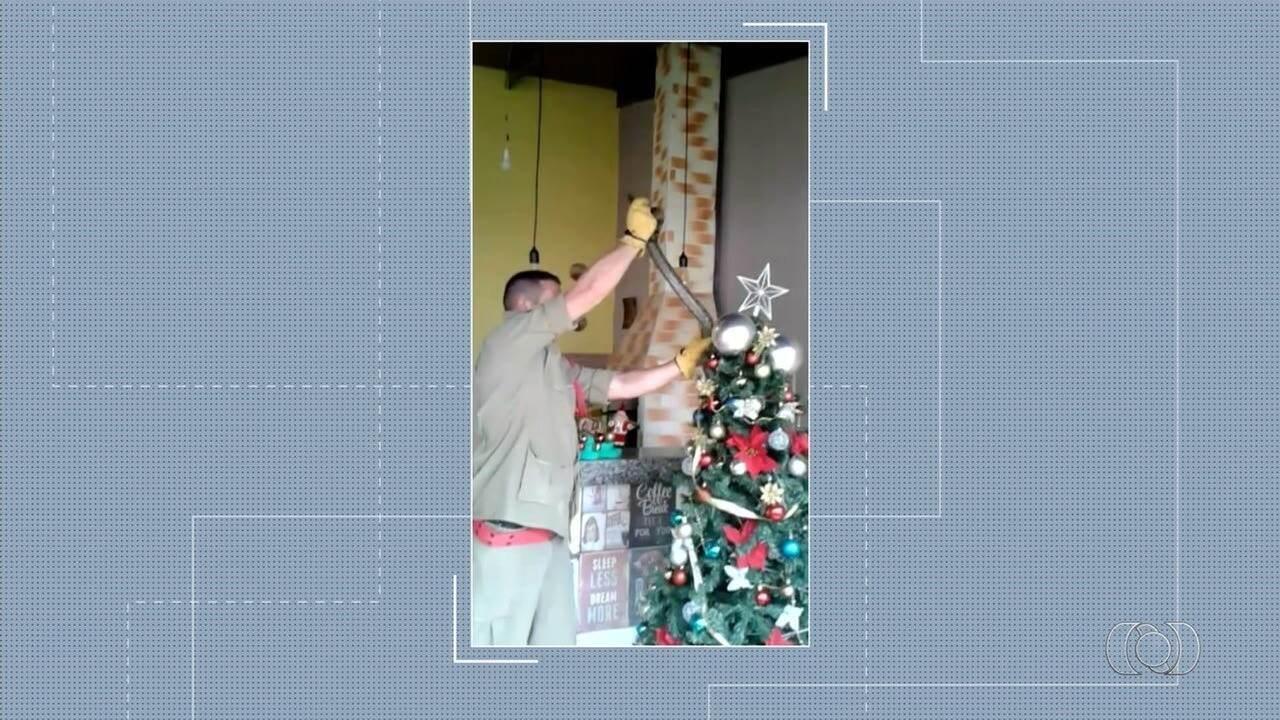 Família encontra jiboia enrolada em árvore de Natal, em Inhumas