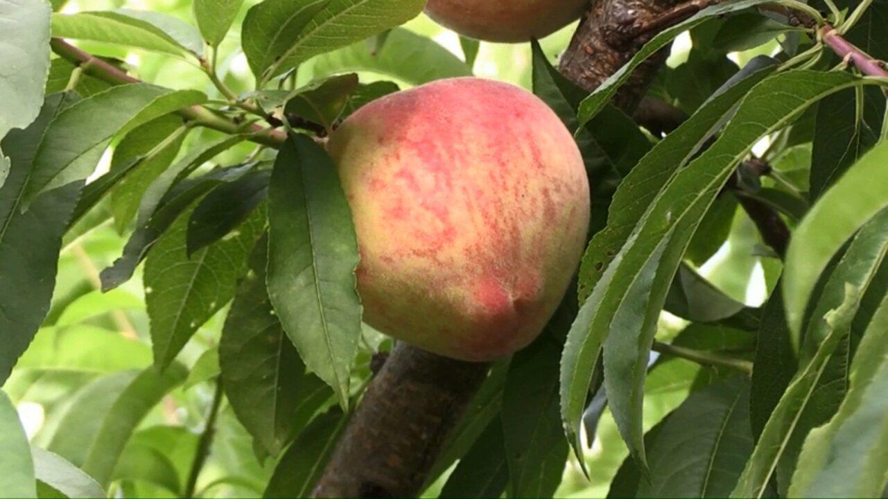 Aumenta oferta de pêssego durante a colheita da fruta