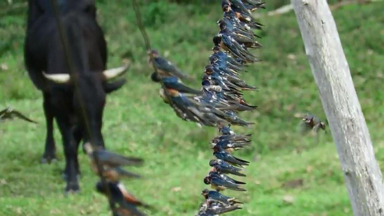 """Andorinhas formam um """"varal"""" ao norte do Peru"""
