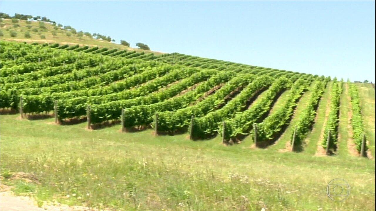 Vinhedos do RS são atingidos por herbicida usado na soja