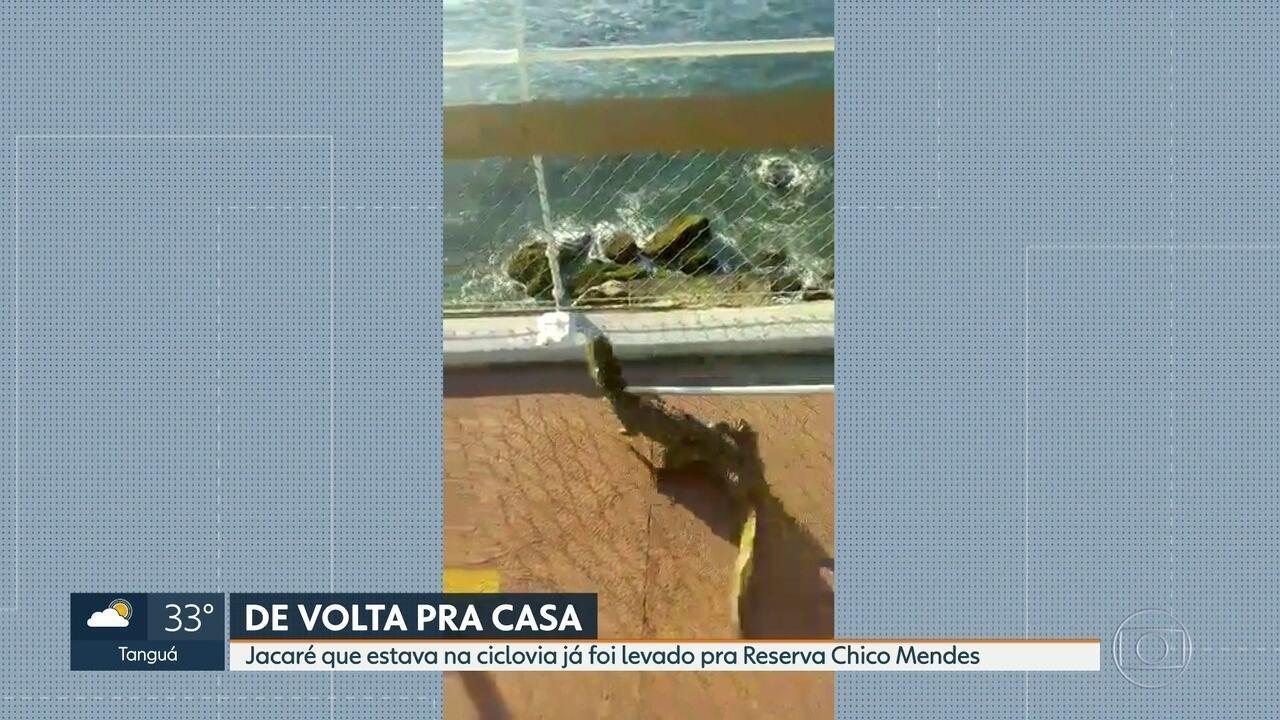 O jacaré encontrado na ciclovia Tim Maia foi levado pro Parque Chico Mendes