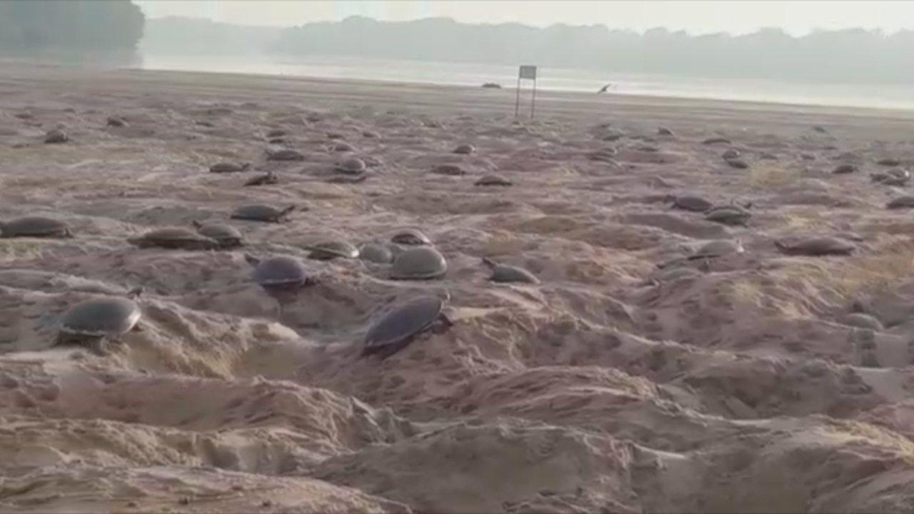 Mais de meio milhão de tartarugas são soltas as margens do Rio Guaporé em Rondônia