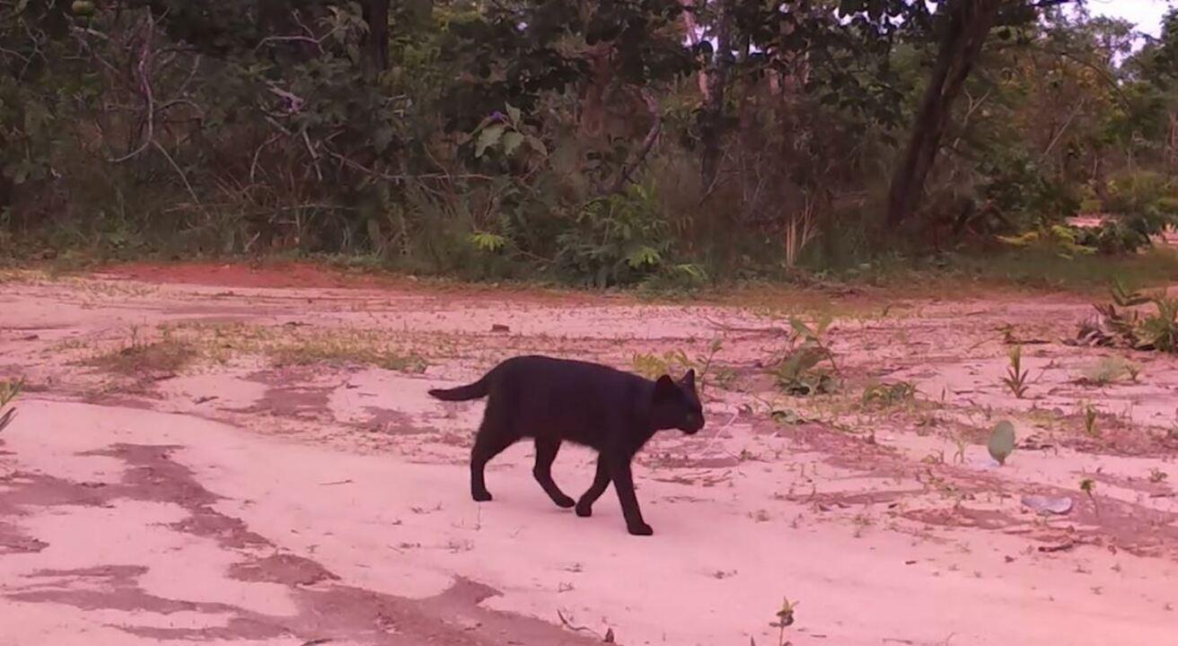 Ameaçado de extinção, gato-palheiro melânico surpreende pesquisadores