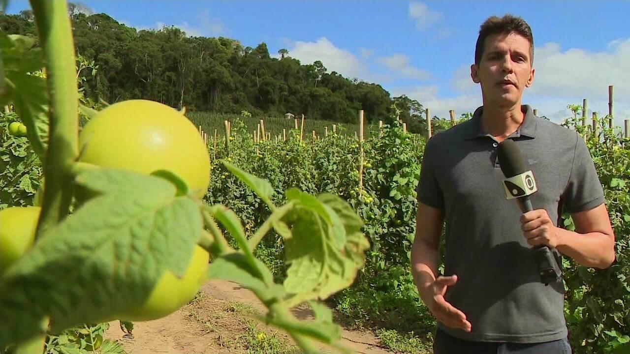 Jornal do Campo - Preço do tomate