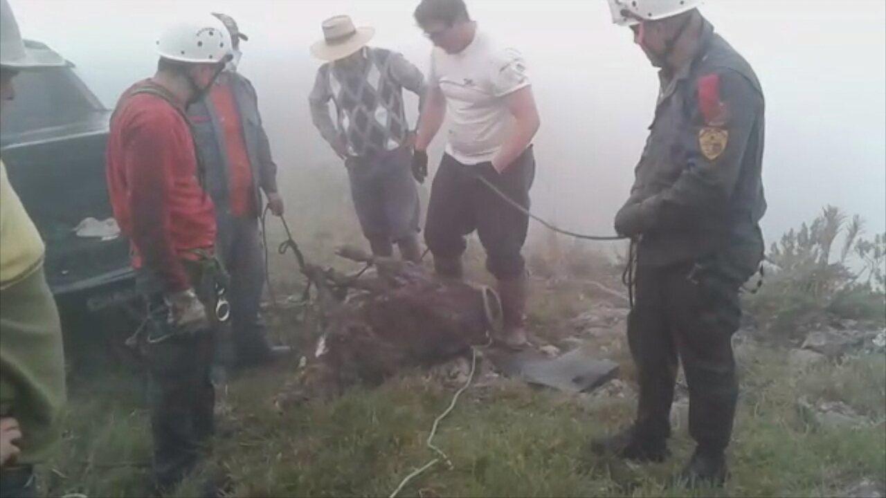 Bombeiros resgatam bezerro caído em penhasco na Serra do Rio Rastro; VÍDEO