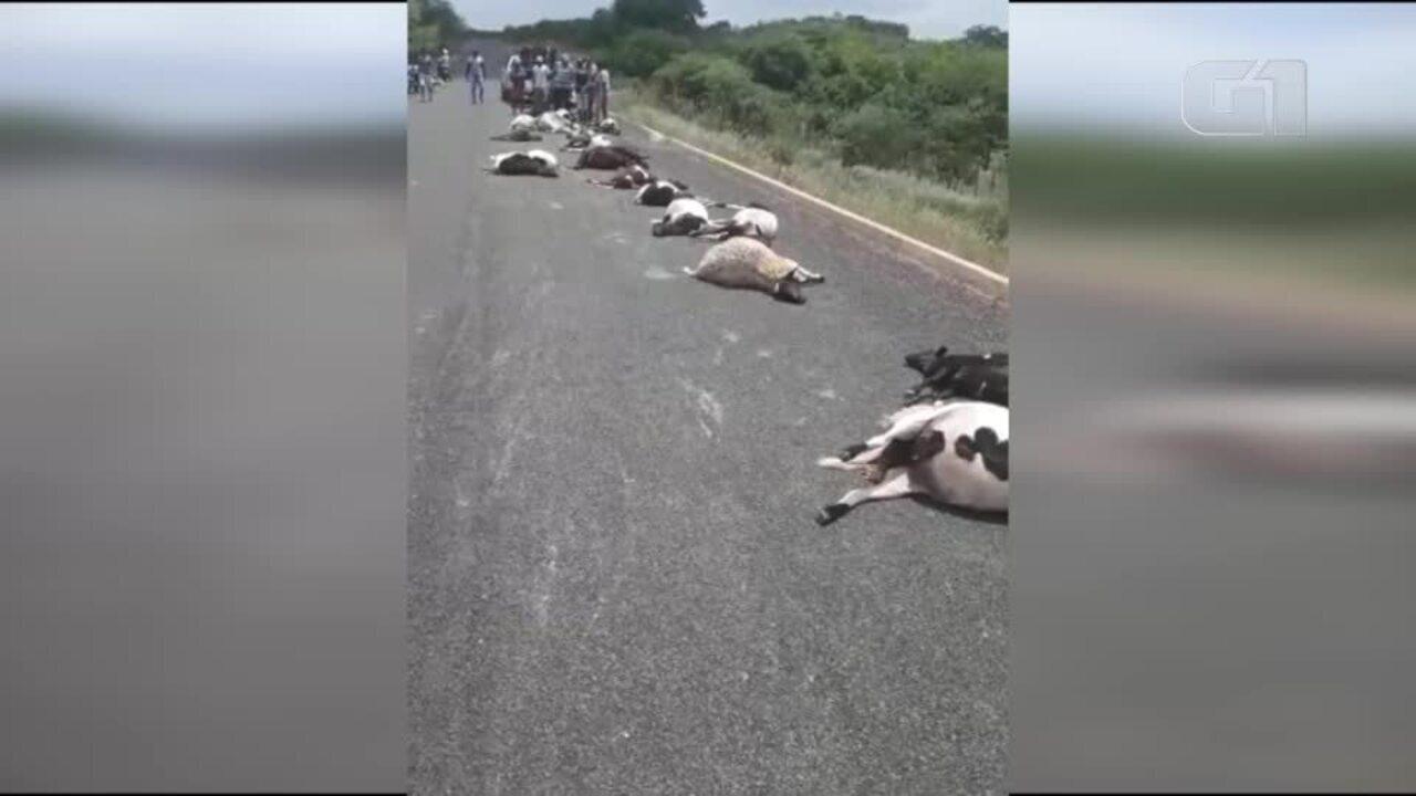 Condutor em alta velocidade atropela e mata 29 ovelhas no Sul do Piauí