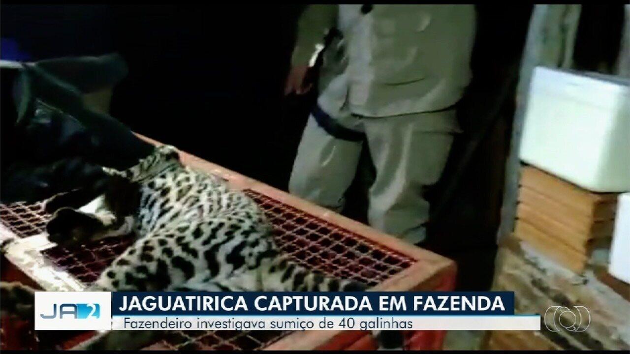 Jaguatirica é capturada por fazendeiro em Jatái