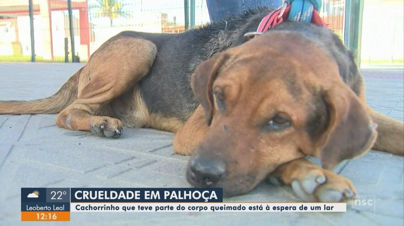Cachorro tem parte do corpo queimado e precisa de um lar em Palhoça