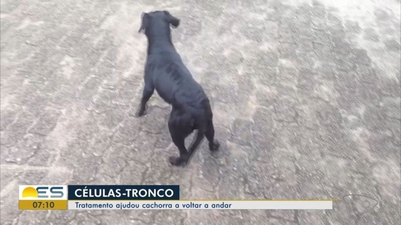 Tratamento com células-tronco ajuda cadela a voltar a andar, no ES