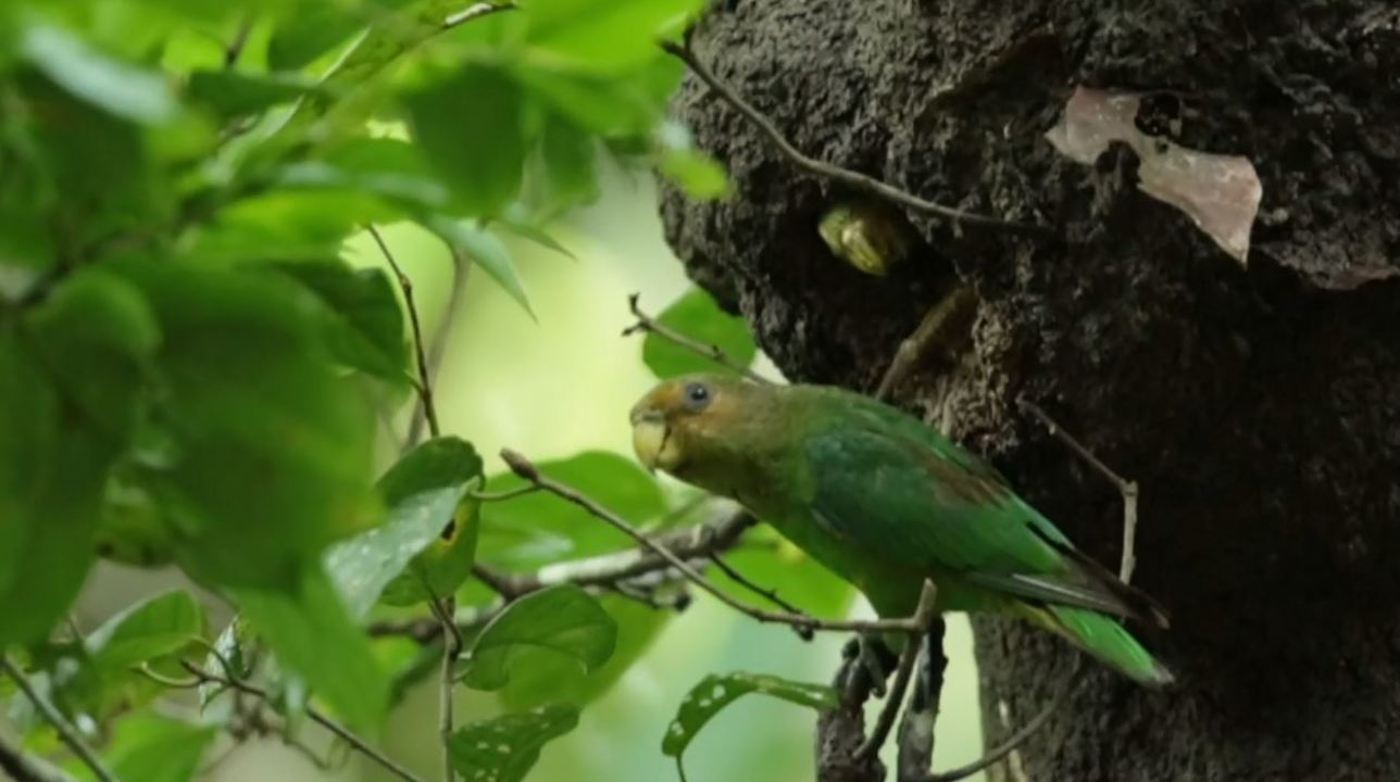 Registros raros de ninho de apuim-de-cauda-amarela