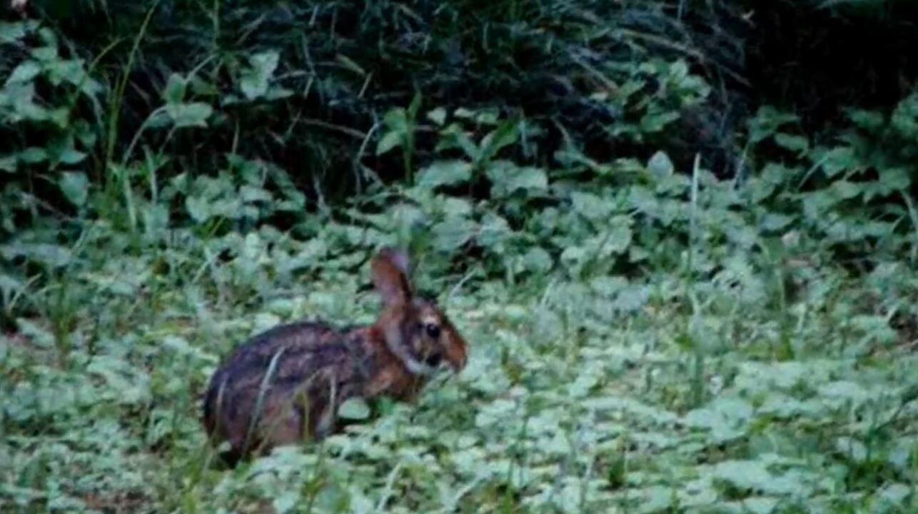 Conheça o tapiti, coelho nativo do Brasil