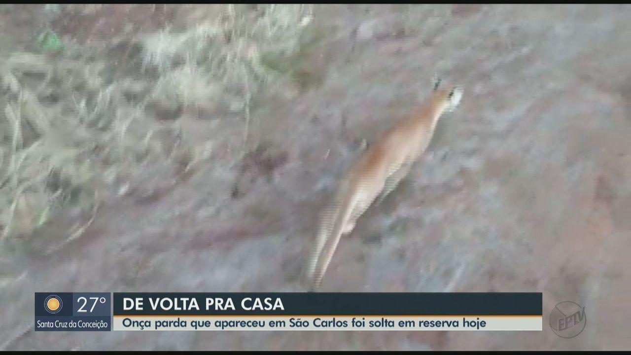 Onça-parda que 'passeou' por casas e assustou moradores de São Carlos é solta em re
