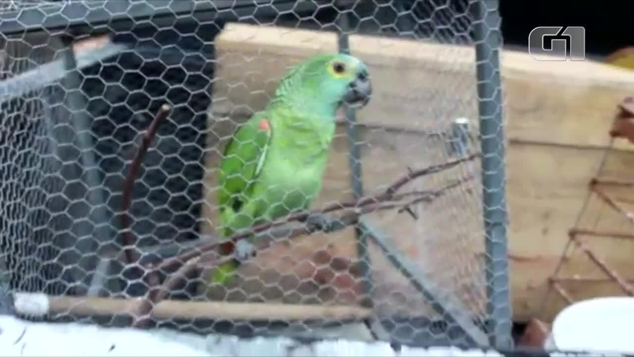 Papagaio que alertou donos sobre presença da polícia é apreendido