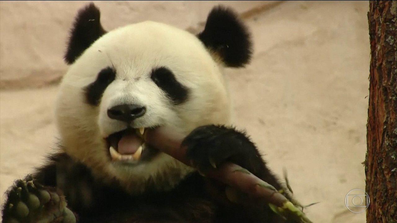 Diplomacia do panda: China presenteia Rússia com dois ursos pandas