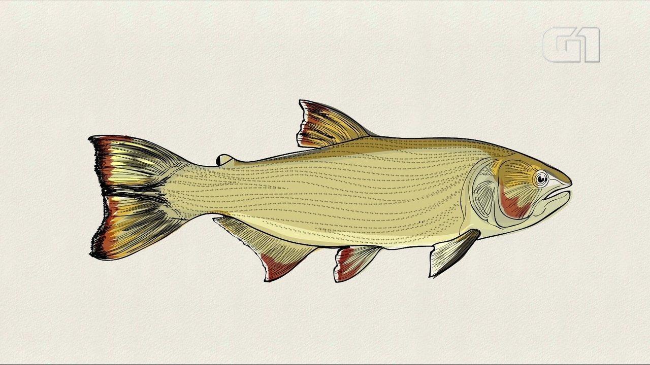 O peixe que virou o símbolo da proteção da fauna no Pantanal