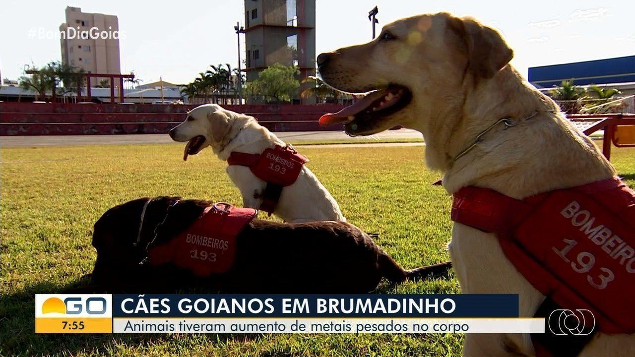 Cães dos Bombeiros de Goiás que atuaram em Brumadinho apresentam problema de saúde