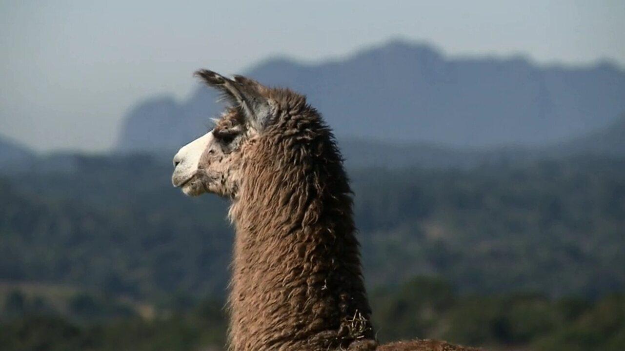 A única propriedade de lhamas do Brasil fica no Paraná