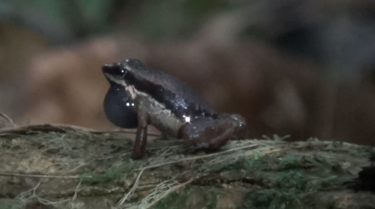 Espécie amazônica foi descoberta graças à vocalização diferente