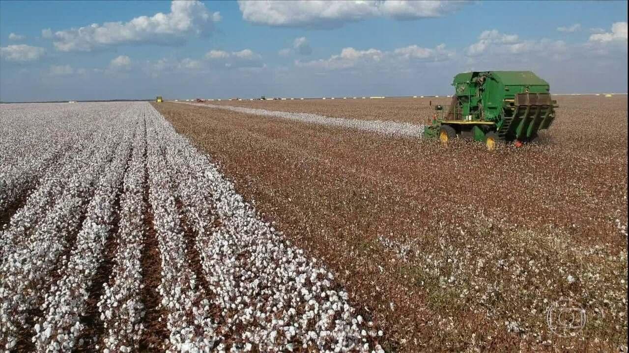 Colheita do algodão em MT segue em ritmo acelerado