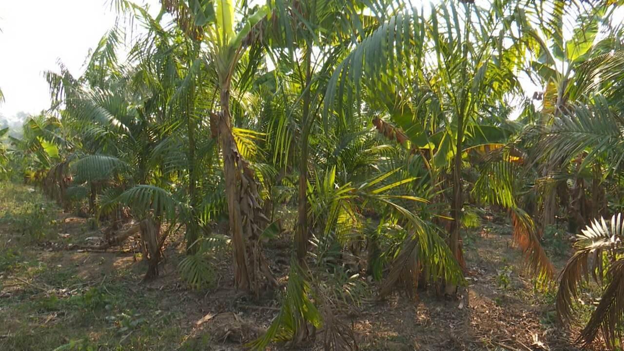 Tempo seco causa ressecamento de açaizeiros e produtores temem perder até 40% do plantio