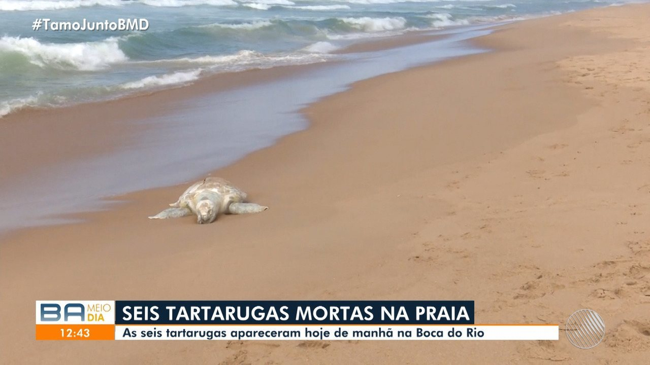 Tartarugas são encontradas mortas na praia da Boca do Rio, em Salvador