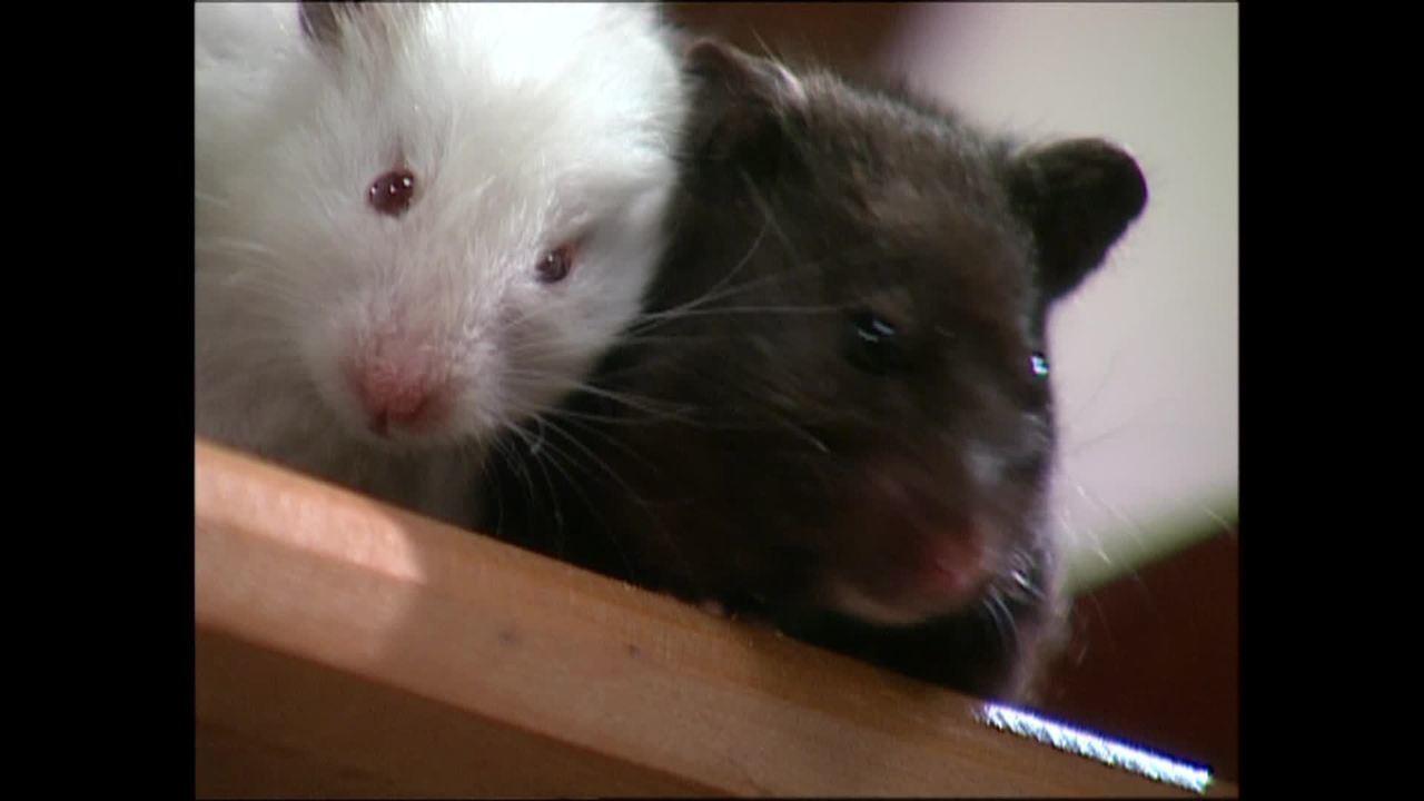 Reveja cena dos hamsters Godô e Fredô em 'Começar de Novo'