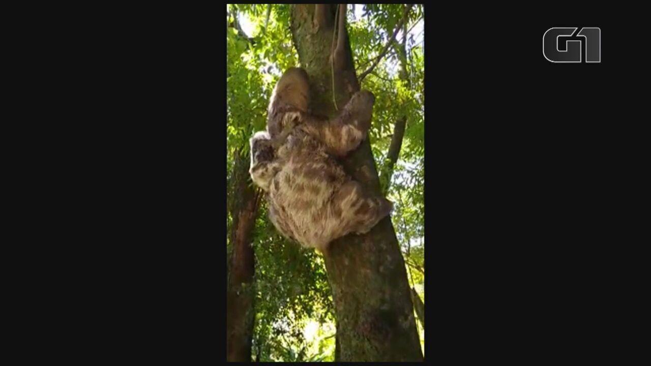 Bosque dos Jequitibás faz censo de bichos-preguiça em Campinas