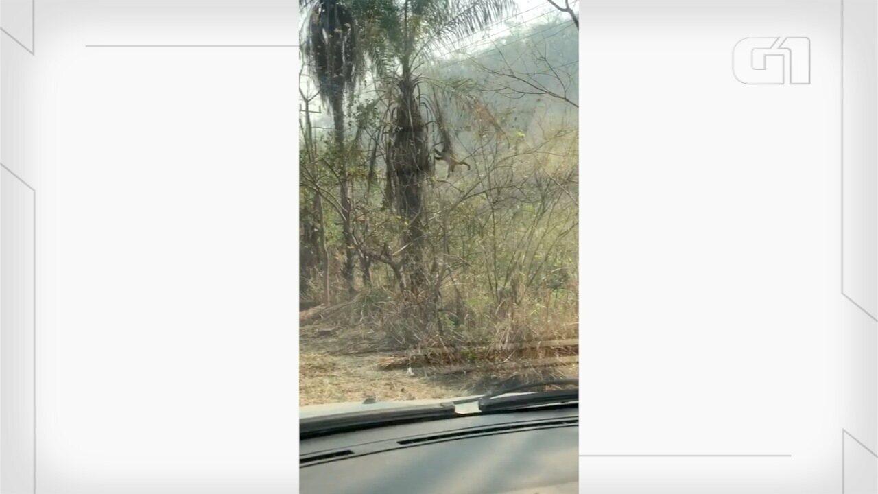 Macaquinhos fogem de queimadas no Pantanal de MS.
